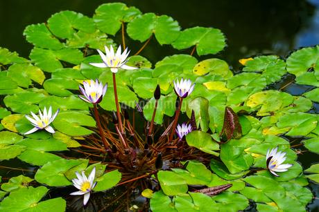 熱帯スイレン(白色,紫色,)の写真素材 [FYI04302620]