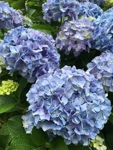 紫陽花の写真素材 [FYI04302623]