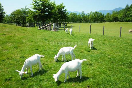 牧場のヤギの写真素材 [FYI04302754]