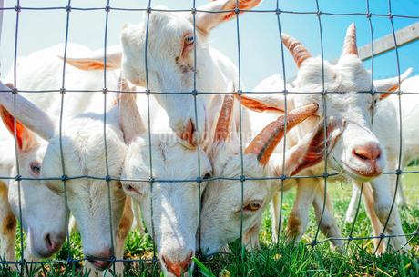山羊の群れの写真素材 [FYI04302755]