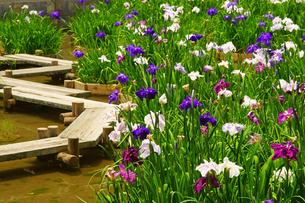 花菖蒲の池の写真素材 [FYI04302910]