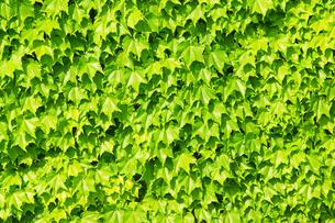 蔦の葉の写真素材 [FYI04303358]