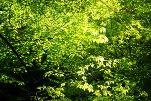 新緑の菊池渓谷の写真素材 [FYI04303420]