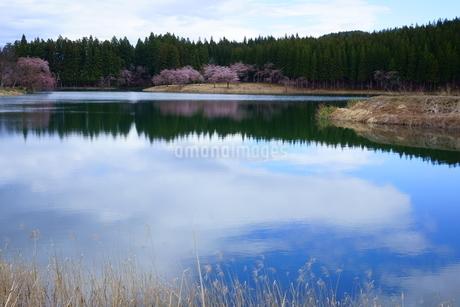 湖面に映る桜が美しい中子の桜の写真素材 [FYI04303538]