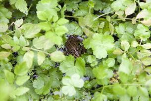 水辺の草の中に潜むトウキョウダルマガエルの写真素材 [FYI04303650]