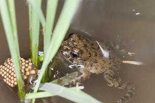 イネの株間の水面に浮いているツチガエルとコオイムシの写真素材 [FYI04303667]