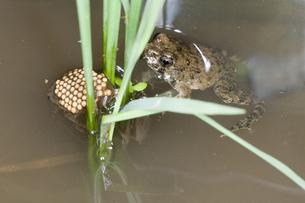 イネの株間の水面に浮いているツチガエルとコオイムシの写真素材 [FYI04303668]