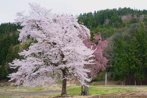 ピンクの桜とモクレンが咲く春の里山の風景の写真素材 [FYI04303965]