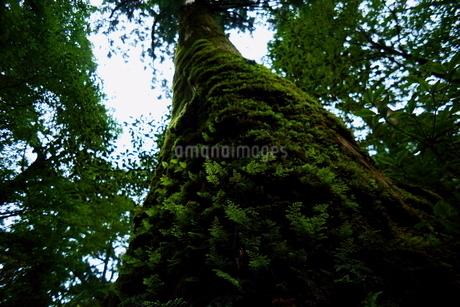 屋久杉 苔むす巨木の写真素材 [FYI04303972]