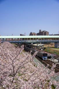 満開の桜と北総鉄道線白井駅の下りホームに入る電車の写真素材 [FYI04303974]