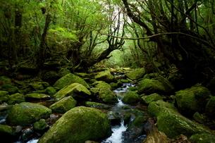 屋久島 苔むす森と渓流の写真素材 [FYI04303980]