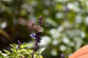 花にとまったウラナミシジミの写真素材 [FYI04303985]
