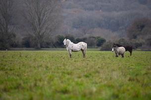 ポート・メドウの野生馬の写真素材 [FYI04303995]