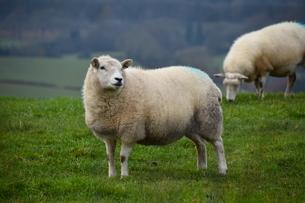 ワイ丘陵の農村で草を食む羊たちの写真素材 [FYI04303998]