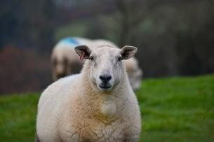 ワイ丘陵の農村で草を食む羊たちの写真素材 [FYI04304005]