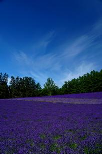 富良野 ラベンダー畑の写真素材 [FYI04304054]