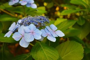 青い紫陽花の花の写真素材 [FYI04304061]