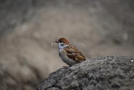 岩の上で佇むスズメの写真素材 [FYI04304062]