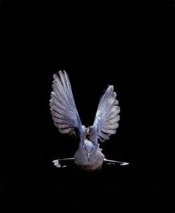真正面から見たキジバトの飛翔の写真素材 [FYI04304128]
