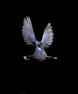 真正面から見たキジバトの飛翔の写真素材 [FYI04304129]