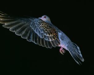 真横から見たキジバトの飛翔の写真素材 [FYI04304141]