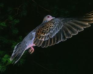 真横から見たキジバトの飛翔の写真素材 [FYI04304142]