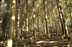 ヒノキ林の道に射しこむ朝日の写真素材 [FYI04304267]