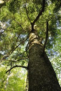 モミの大木の写真素材 [FYI04304268]