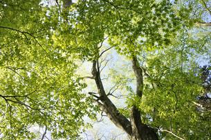 ブナとカエデの新緑の写真素材 [FYI04304269]