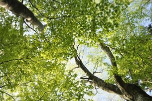 ブナとカエデの新緑の写真素材 [FYI04304270]