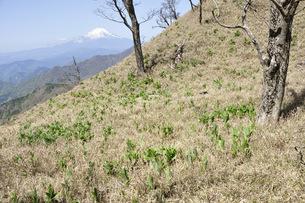富士山とバイケイソウ若葉の写真素材 [FYI04304378]