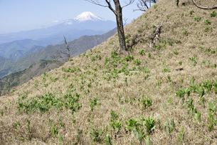 富士山とバイケイソウ若葉の写真素材 [FYI04304379]
