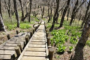 オオバイケイソウ若葉生える森の木道の写真素材 [FYI04304380]