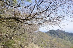 サクラ咲く新緑の山地の写真素材 [FYI04304381]