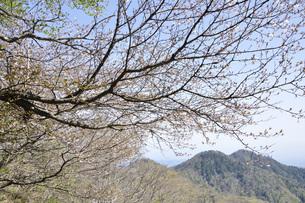 サクラ咲く新緑の山地の写真素材 [FYI04304382]