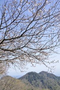 サクラ咲く新緑の山地の写真素材 [FYI04304383]