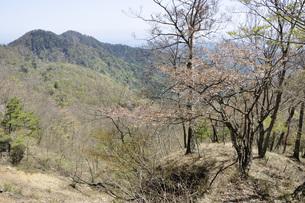 サクラ咲く新緑の山地の写真素材 [FYI04304384]