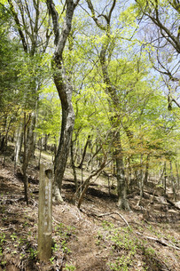 かながわの美林50選 丹沢堂平のブナ林の写真素材 [FYI04304390]