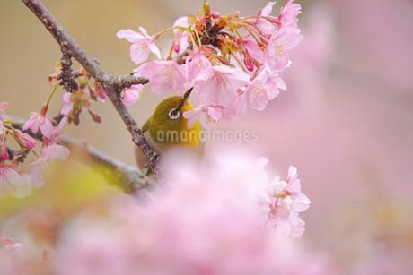 桜とメジロの写真素材 [FYI04304404]