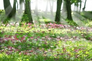 美しい光と湖畔の森のクリンソウの写真素材 [FYI04304435]
