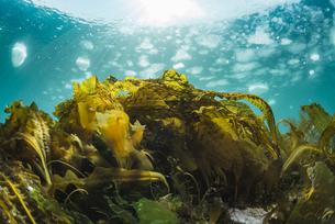 流氷と海藻の写真素材 [FYI04304710]