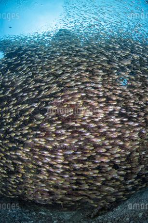 キンメモドキの群れの写真素材 [FYI04304733]