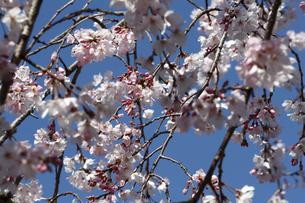 桜の写真素材 [FYI04304751]