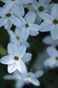 白い花・花韮・西洋甘菜の写真素材 [FYI04304810]