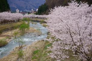 リゾートマンションが立ち並ぶ湯沢町岩原エリアに咲く桜並木の写真素材 [FYI04304833]