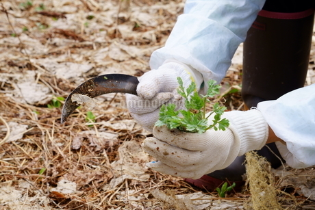 よもぎを収穫する鎌を持ち軍手をした女性の手元の写真素材 [FYI04304834]