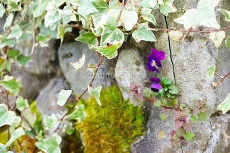 コンクリートの割れ目から花を咲かせるど根性すみれとヒメオドリコソウの写真素材 [FYI04304835]
