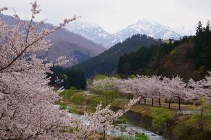 雪国の春、桜並木が美しい里山の風景の写真素材 [FYI04304836]