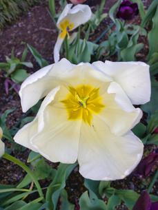 2020/4/14 前日の強雨に耐えた花、チューリップ 雨が強かった影響が出ましたの写真素材 [FYI04304861]
