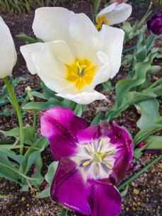 2020/4/14 前日の強雨に耐えた花、チューリップ 雨が強かった影響が出ましたの写真素材 [FYI04304869]